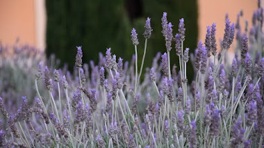 Plantas mediterráneas que florecen en invierno: Alhucema rizada (Lavandula dentata)