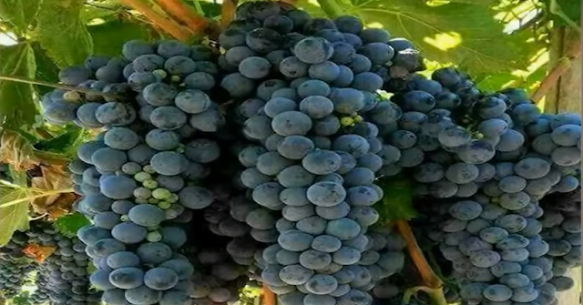فوائد العنب لجسم الإنسان