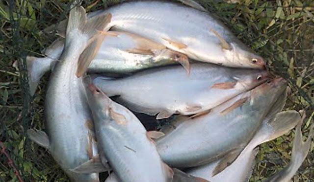Ritual Berburu Ikan Patin Kualo Di Sungai Kampar