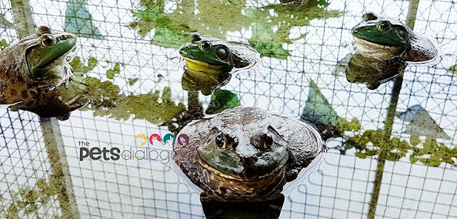 Huge Bullfrog and small Bullfrogs