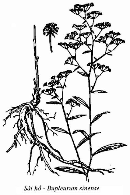 Hình vẽ Sài Hồ - Bupleurum sinense - Nguyên liệu làm thuốc Chữa Cảm Sốt