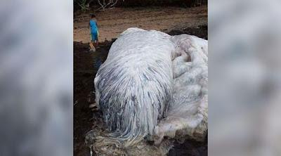 Viral το τεράστιο τριχωτό «τέρας» που ξεβράστηκε στις Φιλιπίννες