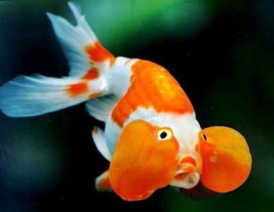 Gambar Ikan Mas Koki Bubble Eye