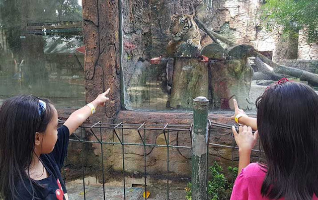 Pengunjung melihat harimau di Taman Hewan Pematang Siantar