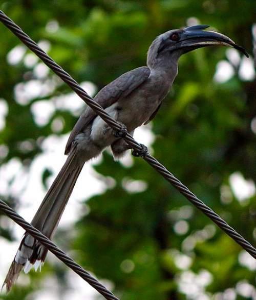 Image of Indian grey hornbill - Ocyceros birostris