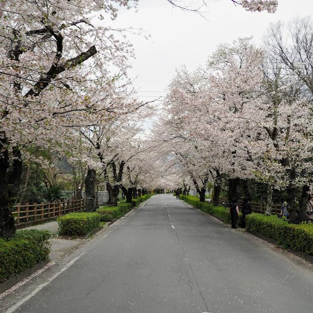 長瀞 宝登山神社 参道 桜