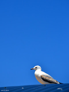 roof gull