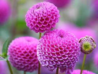 flor.dahalia-de-color-rosa