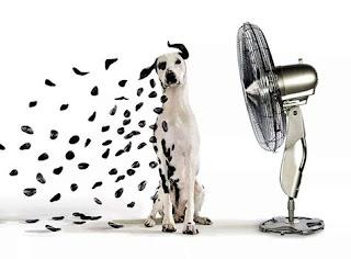 Foto com efeito. À direita, um ventilador prateado ligado apontado à esquerda para um cão da raça Dálmata, branco, com olhos, orelhas, focinho e algumas pintas pretas no corpo delgado. O cão está sentado, de frente, o lado direito do corpo todo branco, as orelhas esvoaçam, no lado esquerdo, as pintas permanecem, porém as do lado direito, desprendem-se pela força do vento como se fossem pétalas negras, outras estão no chão, ao lado do cão.