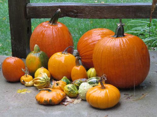 pumpkins in the rain