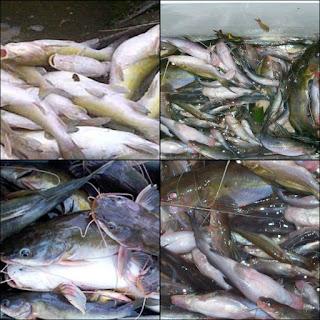 4 Resep Jitu Umpan Untuk Memancing Ikan Baung