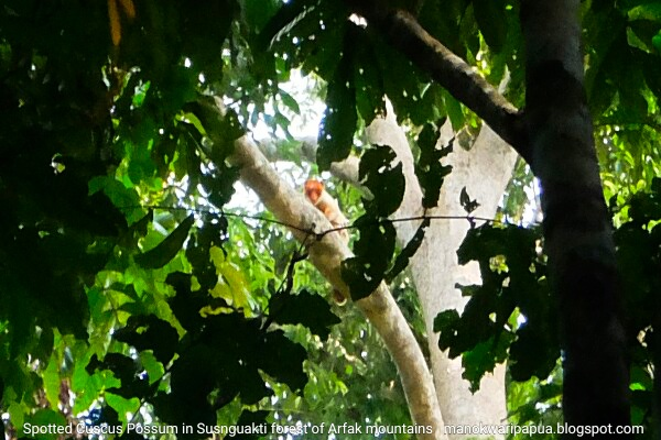 Spotted Cuscus Possum in Susnguakti forest of Arfak range - Manokwari