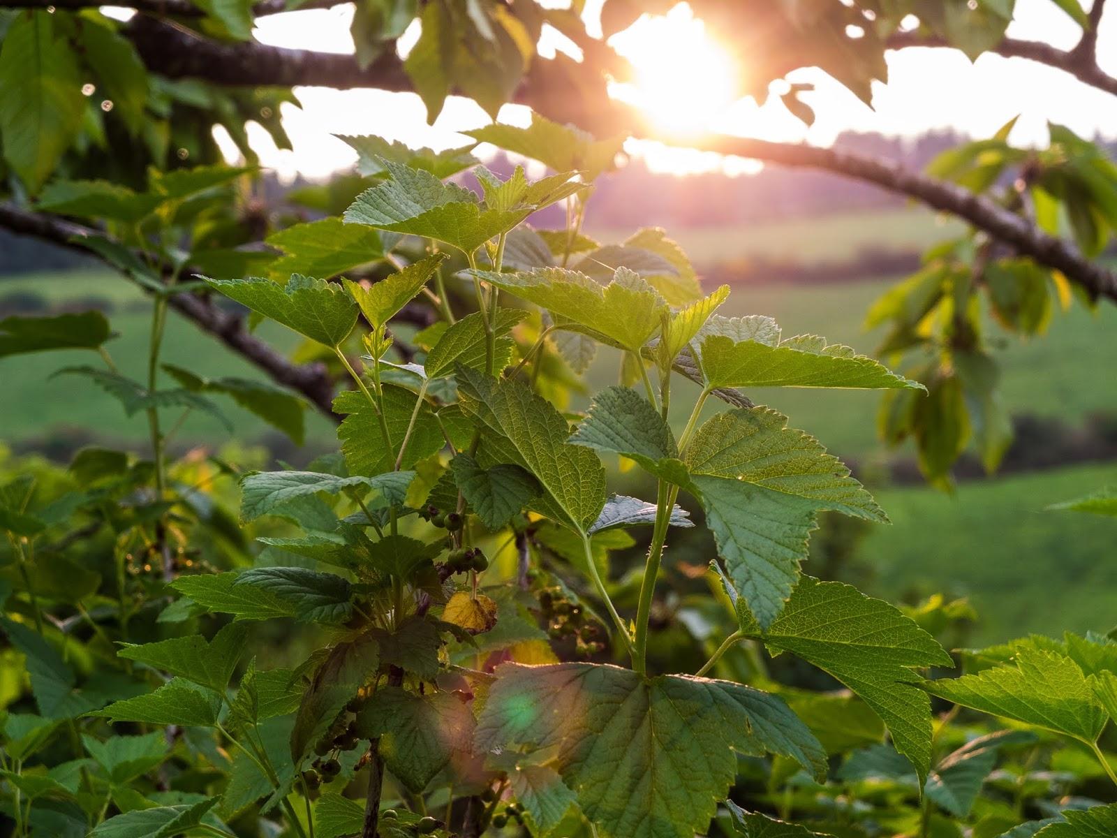 Sun shining through a blackcurrant bush in the garden.