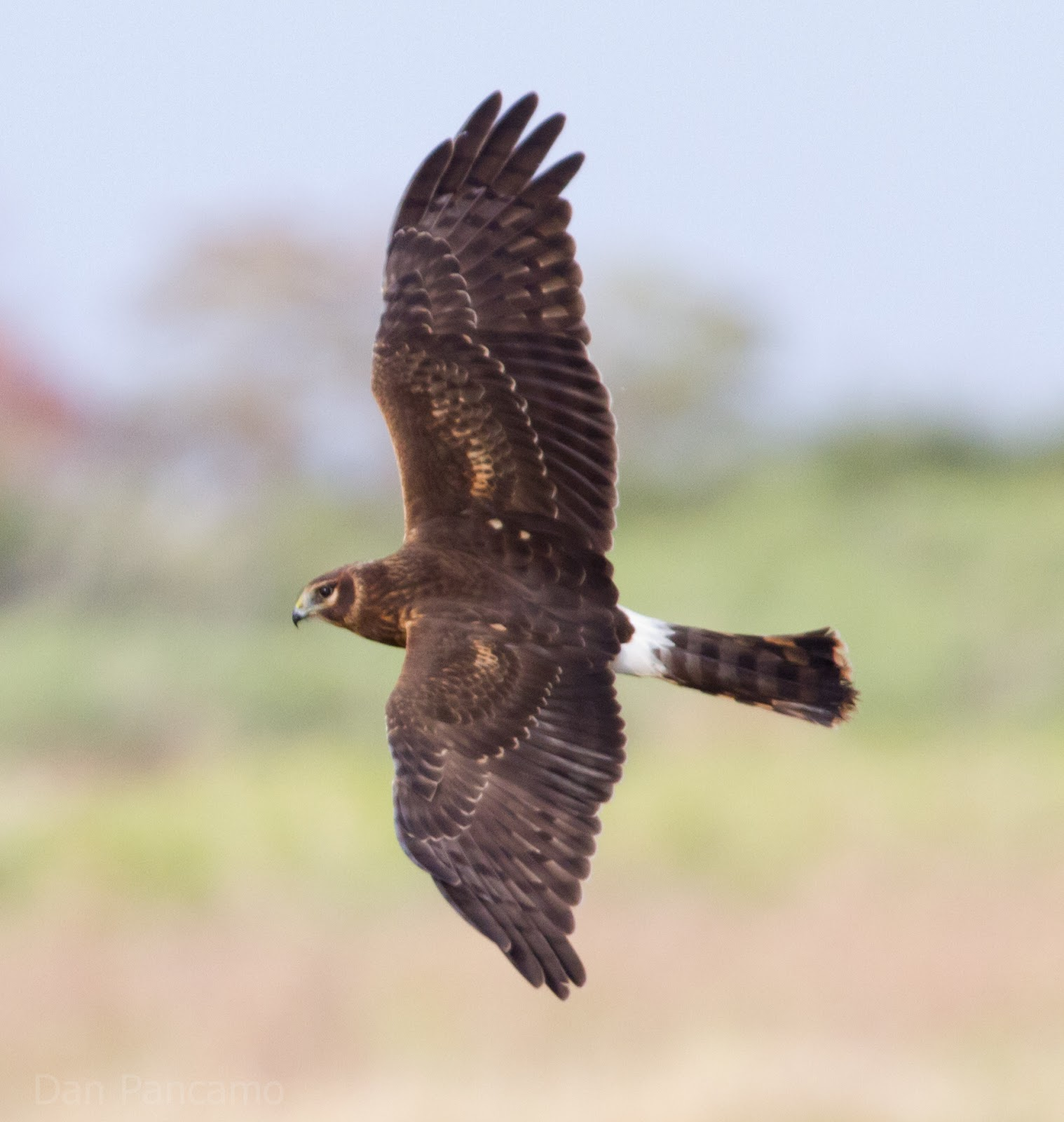 OC Birder Girl: Northern Harrier--Circus cyaneus