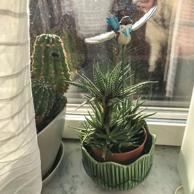 kaktus, suckulent, hawortia