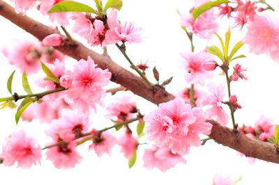 Pink Flowering Tree - Flower Photography by Mademoiselle Mermaid