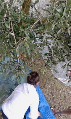 Per la raccolta delle olive serve una rete grande
