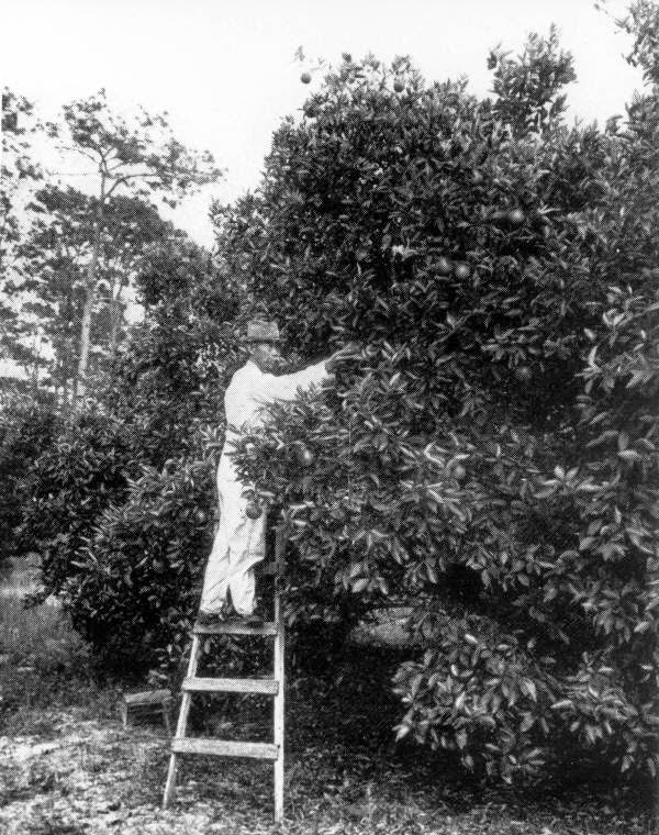 Photo of Lue Gim Gong on ladder at citrus tree