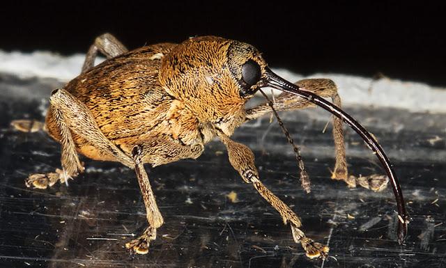 Nut Weevil, Curculio species.  In my garden light trap in Hayes on 13 August 2015