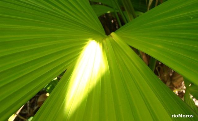 PAJA TOQUILLA, jipijapa, panamá Carludovica palmata