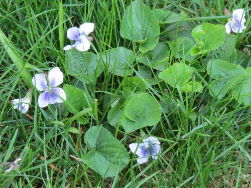 confederate violets