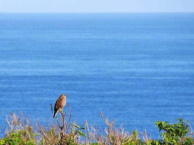 Grey-faced Buzzard Eagle with ocean view in background