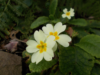 Primrose Green Fingered Blog