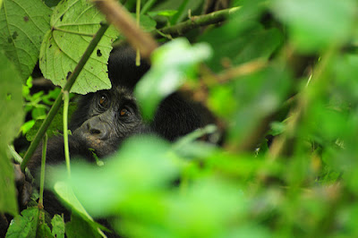 MOUNTAIN GORILLA HABITATS: UGANDA GORILLA FACTS