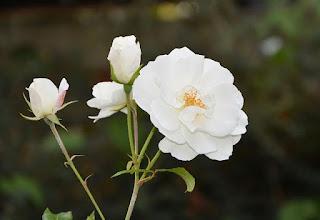 arti bunga mawar putih