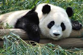 the Facts of the Giant Panda