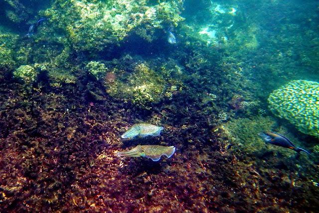 snorkeling, schnorcheln, daymaniyat, islands, inseln, fische, korallen, oman, Muscat, unterwasser, meer, schildkröten, turtles, kalamar
