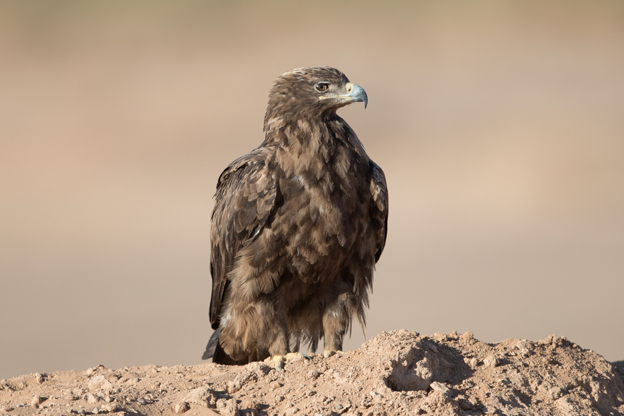 Steppe Eagle – Tabuk