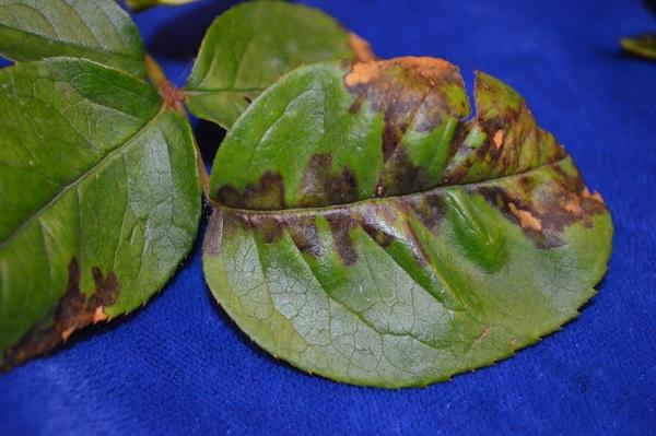 Mildiu enfermedad del rosal y otras plantas guia de jardin for Hongos en las plantas de jardin