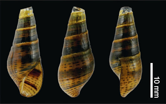 Redescription and Description of Threatened Thiarids (Gastropoda: Cerithioidea) from Argentina-Paraguay