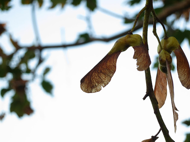 Single sycamore seed still on tree with its broken twin.