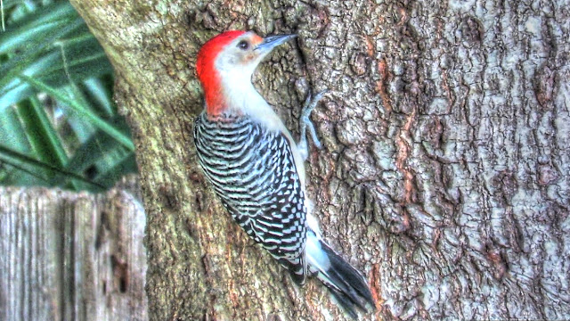 Red Bellied Woodpecker Couple Foraging and Calling