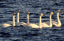 Fly Flatts   Whooper Swans
