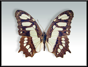mariposas argentinas Mariposa malaquita Metamorpha stelenes