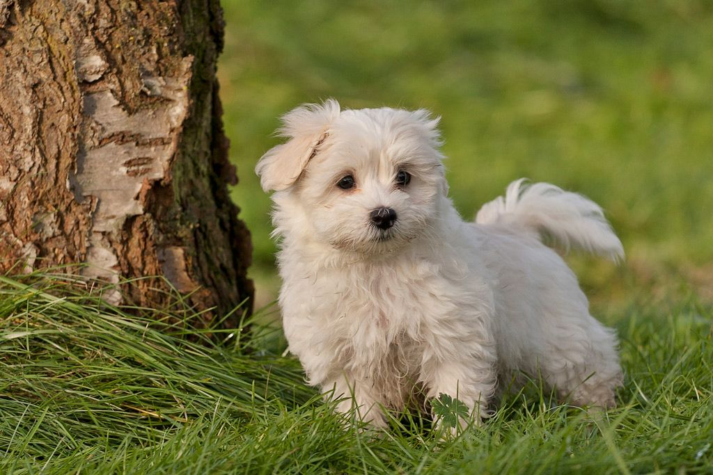 9 weeks old Havanese pup