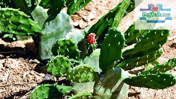 Brazilian Prickly Pear