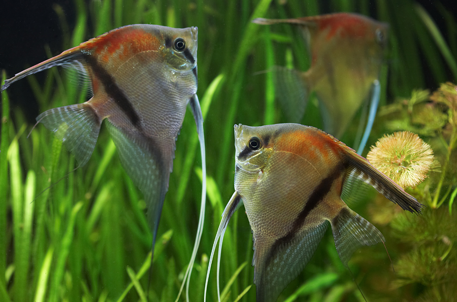 Aquarium Fish Angelfish Pictures Pets Cute And Docile
