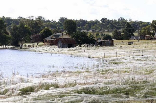 A Terrifying Spider Invasion in Australia (12 pics)