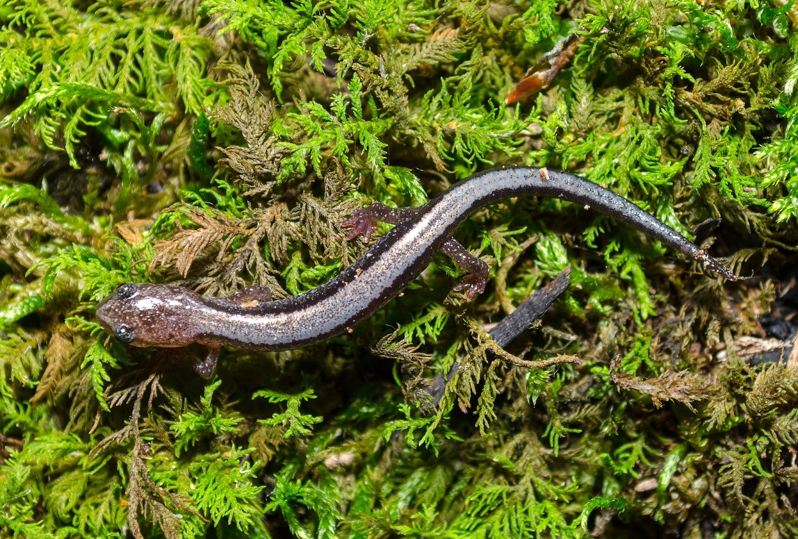 Silver-Striped Red-Backed Salamander