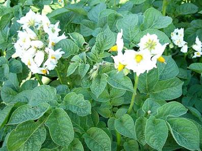 Flor de papa