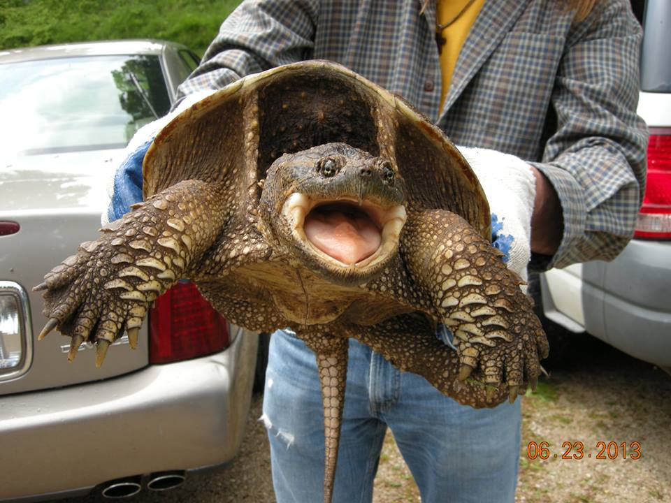 The Agatelady: Adventures and Events: Snapping Turtle and