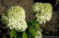 Hortensja bukietowa 'Limelight'- Hydrangea paniculata 'Limelight'