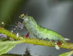Hoverfly larvae eating aphids