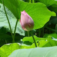 花博記念公園鶴見緑地のハス ピンク花