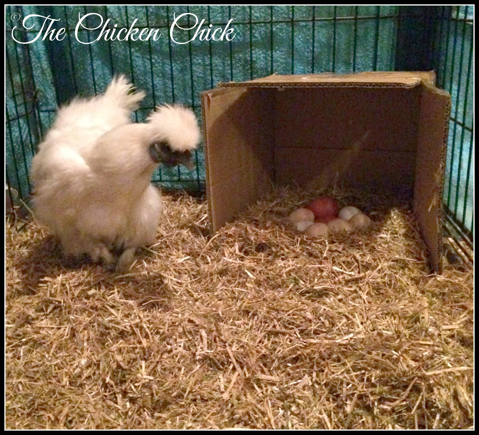 White Silkie broody hen