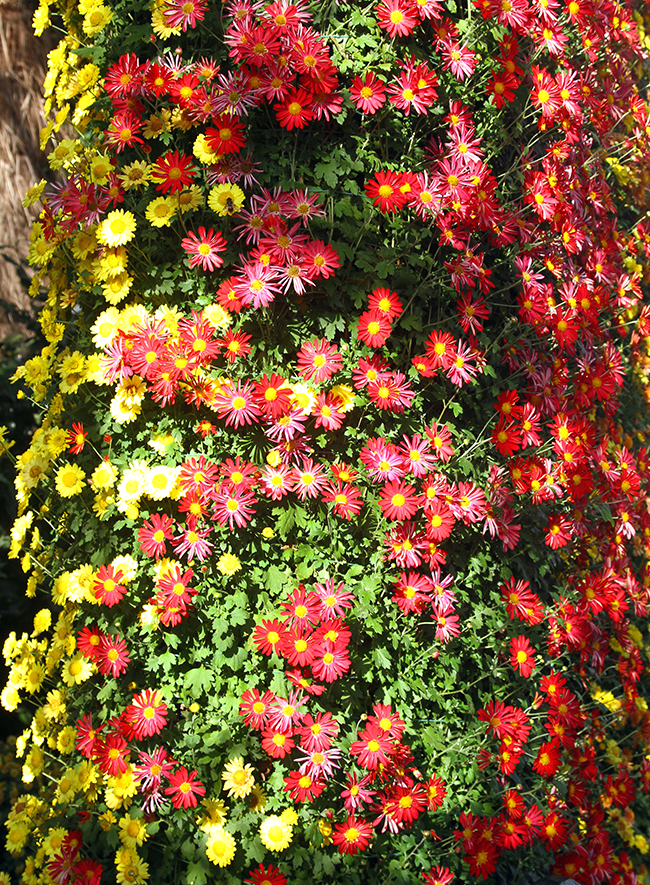 Kiku At The NY Botanical Garden, NY Botanical Garden, Chrysanthemums